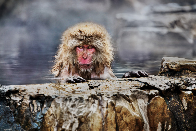 A snow monkey in Nagano, Japan
