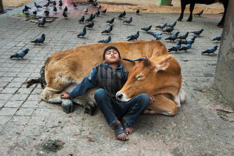Boy lying on cow – Kathmandu, Nepal, 2013